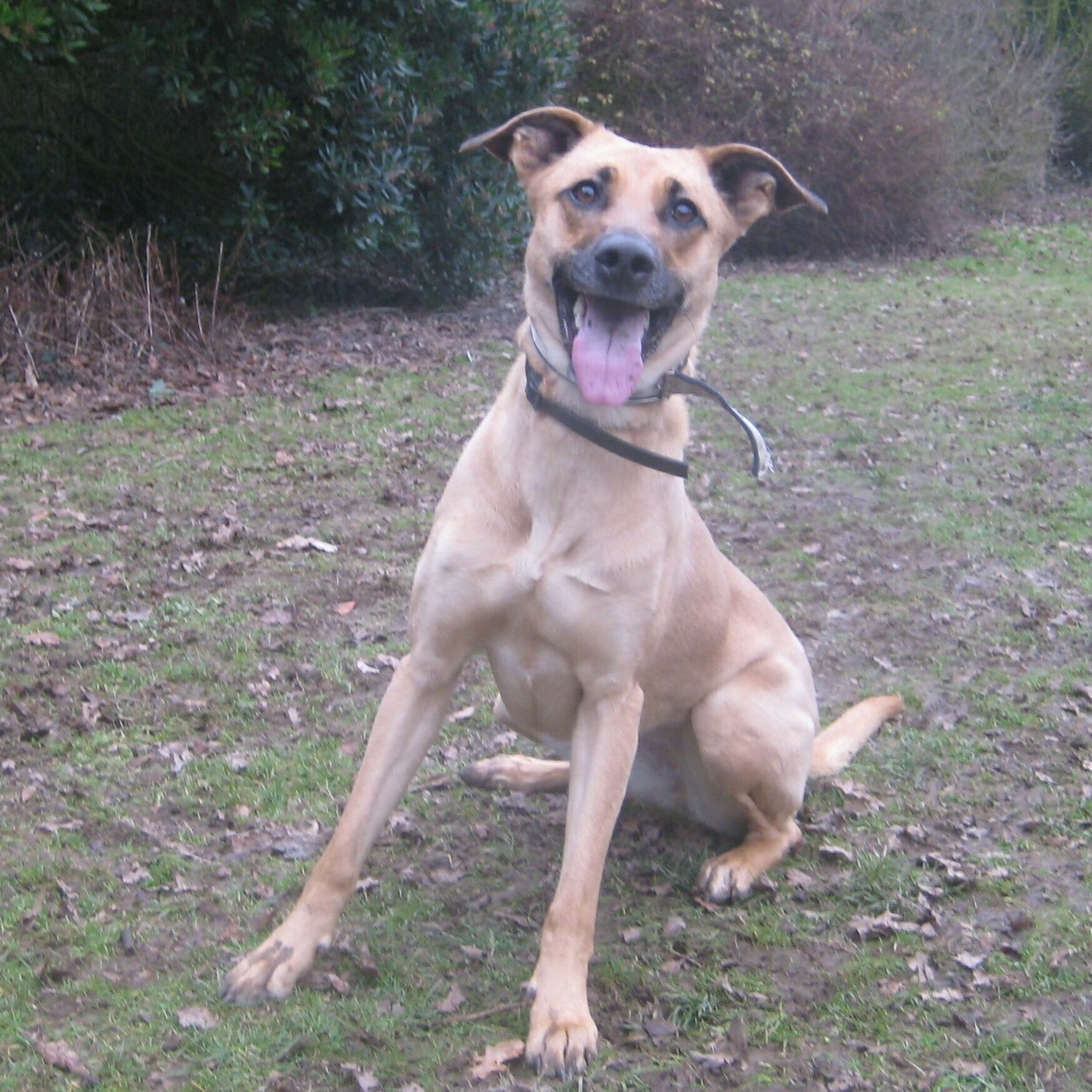Lily – 3 year old female Rhodesian Ridgeback Cross dog for ...