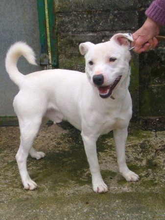 Chico 18 Month Old Male Akita Cross Staffordshire Bull