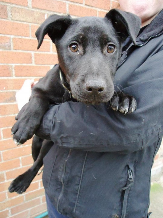 Roxy 5 Month Old Labrador Cross Staffordshire Bull Terrier Dog For