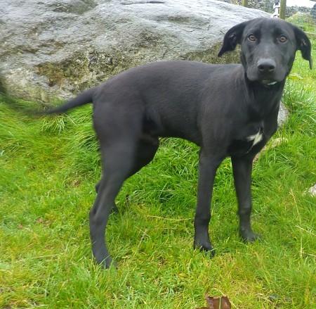 barney � 6 month old male labrador cross greyhound dog for
