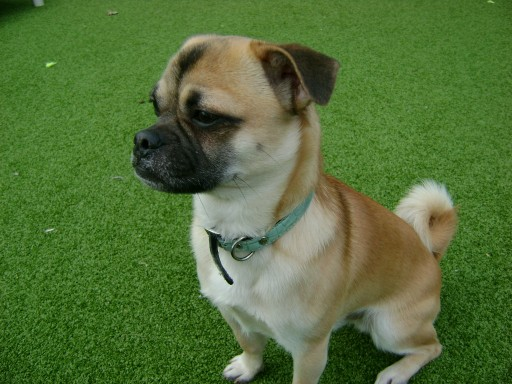 Max – 1 year old male Pug Cross dog for adoption