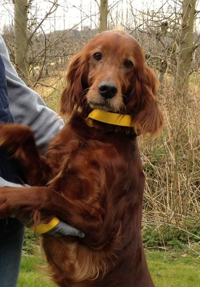 Aiofe 5 6 Year Old Female Red Irish Setter Dog For Adoption