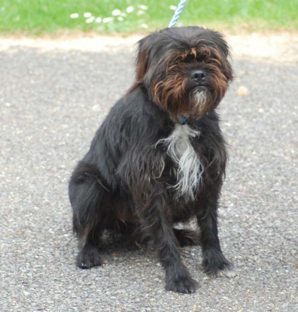 Fraggle 2 Year Old Male Shih Tzu Cross Terrier Dog For Adoption