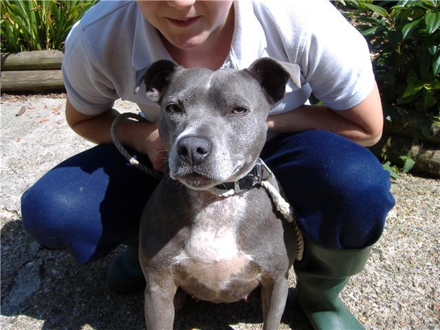 Blue 3 4 Year Old Female Staffordshire Bull Terrier Dog