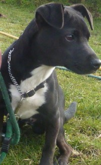Chester 6 Month Old Male Patterdale Terrier Cross Jack