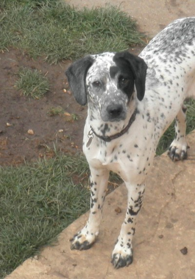 Poppy 1 Year Old Female Dalmatian Cross English Springer