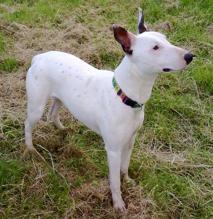 Toto 4 Year Old Male English Bull Terrier Cross Whippet Dog For Adoption