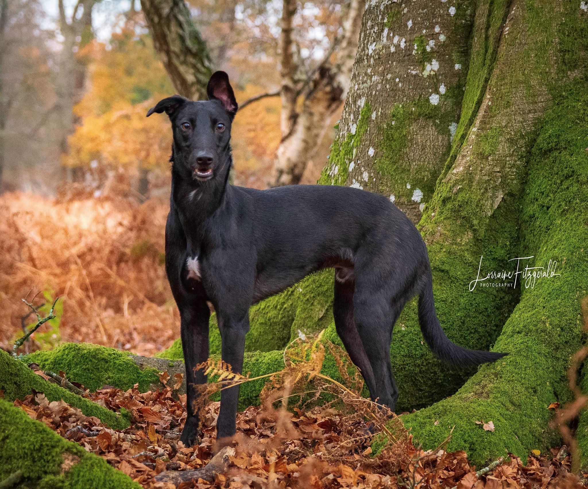 Whippet Cross Dogs For Adoption And Rescue