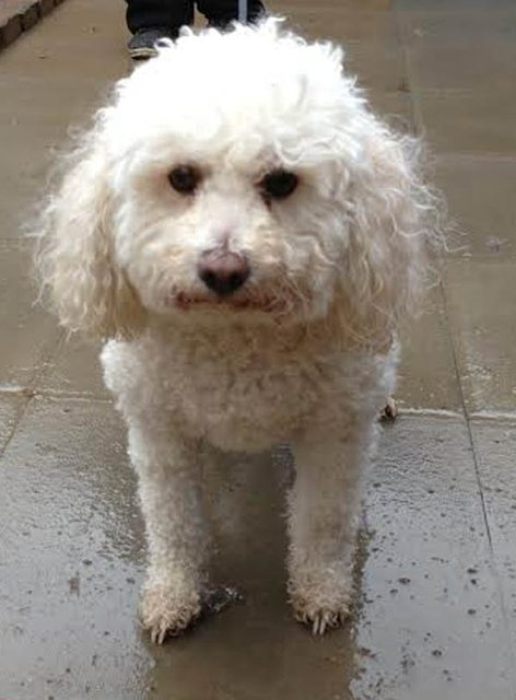 Buddy 4 year old male Bichon Frise cross Toy Poodle