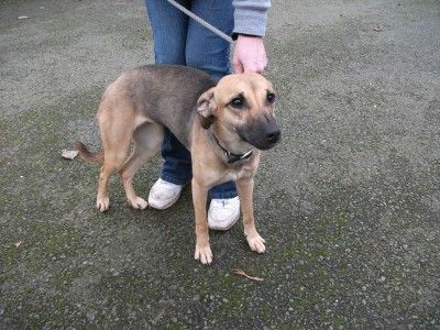 Mindy - 8 month old female Whippet Cross available for ...