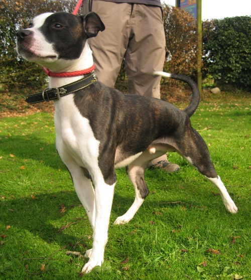 long legged terrier ryan 1 year old male staffordshire bull terrier cross 8659