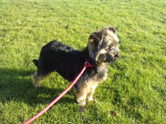 Benjy - 1 year old male Yorkshire Terrier Cross available ...
