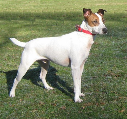 long legged terrier buster 3 1 2 year old male jack russell terrier dog for 627