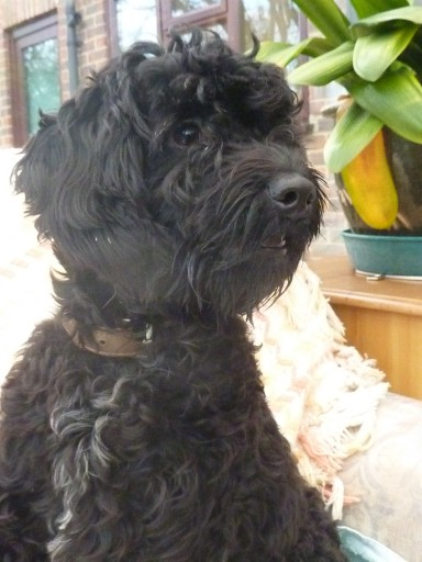 Archie 1 Year Old Male Poodle Cross Border Terrier