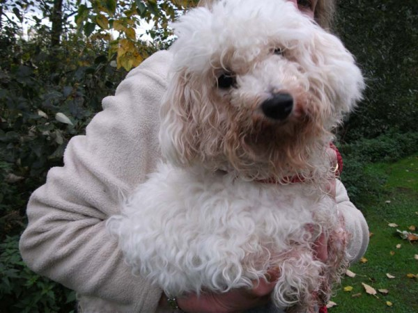 Trinity - 6-7 month old female Bichon Frise available for ...