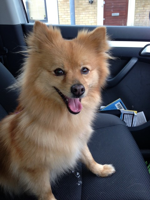 Ruby - 3 year old female Pomeranian Cross available for ...