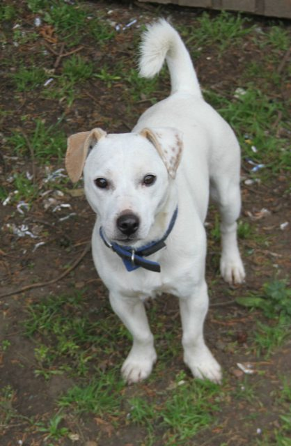 Pip 18 Month Old Male Jack Russell Terrier Cross