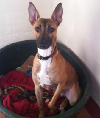 Pip - 8 month old male Whippet Cross available for adoption