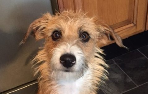 Twm - 7 month old male Beagle Cross Bichon Frise available ...