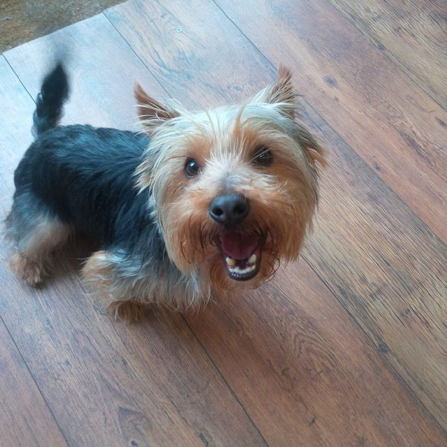 Tommy - 1 year old male Yorkshire Terrier available for ...