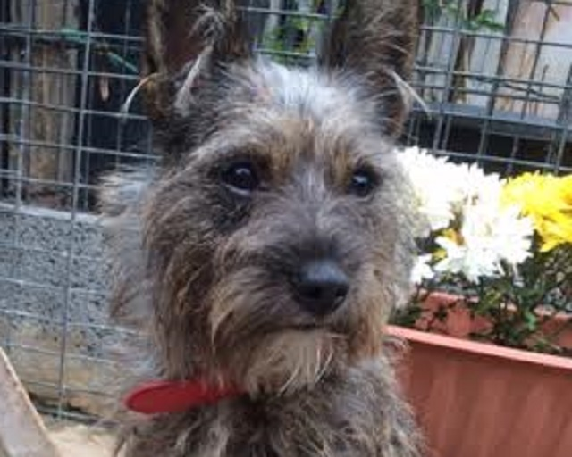 Tia - 1 year old female Yorkshire Terrier Cross available ...