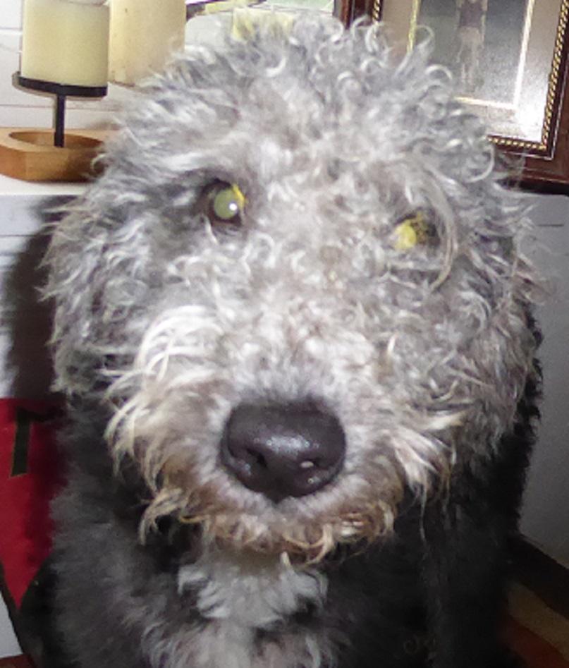 5 Month Old Male Bedlington Terrier Cross Whippet
