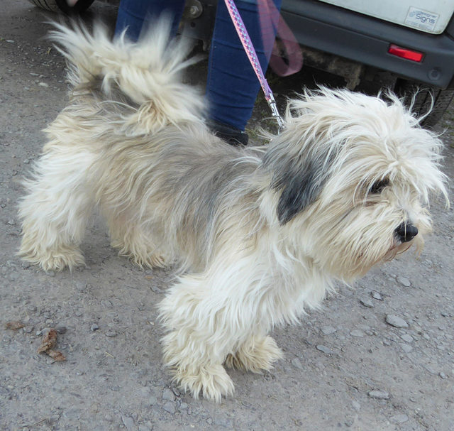 daisy patch shih tzu posts by freshfields animal rescue centre north wales 7920