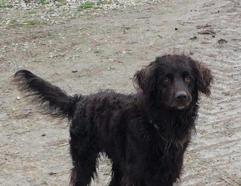 Bailey - 2 year old male Irish Water Spaniel Cross ...