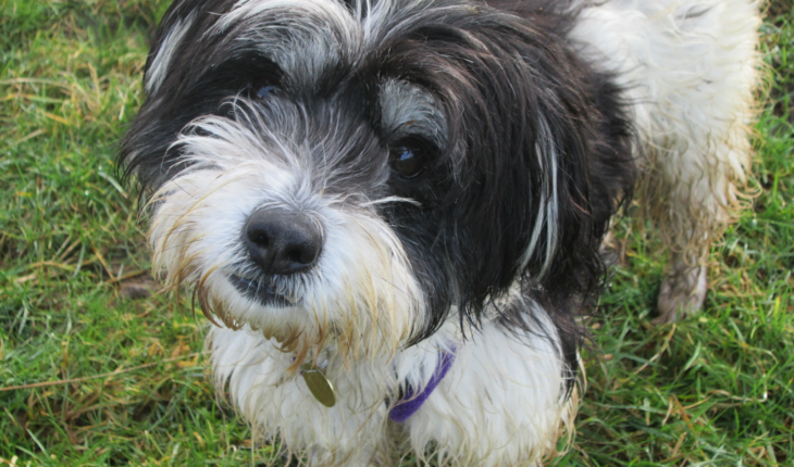 tibetan terrier rescue pearle 3 year old female tibetan terrier cross dog for 2722