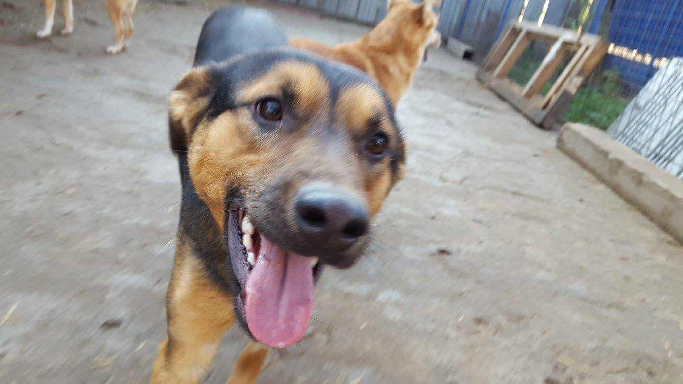 Comet - 8 month old male German Shepherd Cross available ...