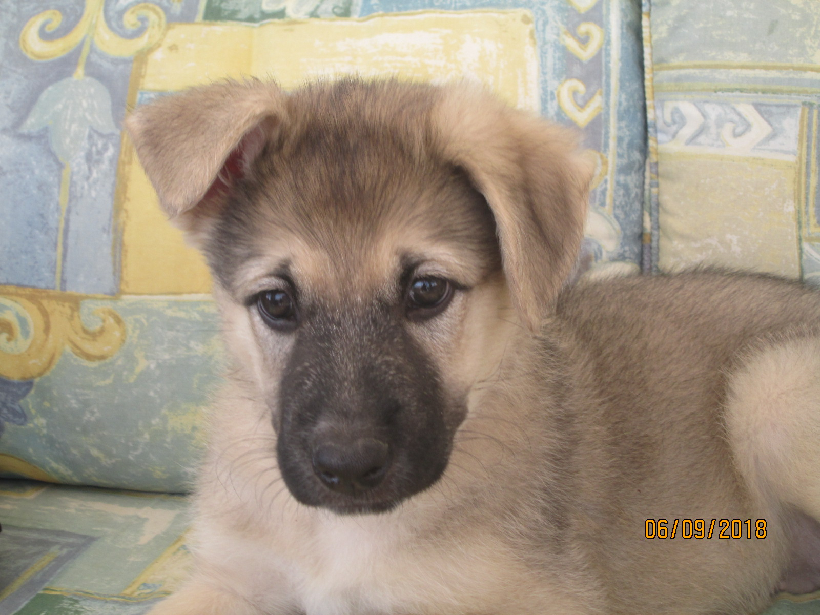 Miss Slinky 8 10 Week Old Female German Shepherd Cross Available For Adoption