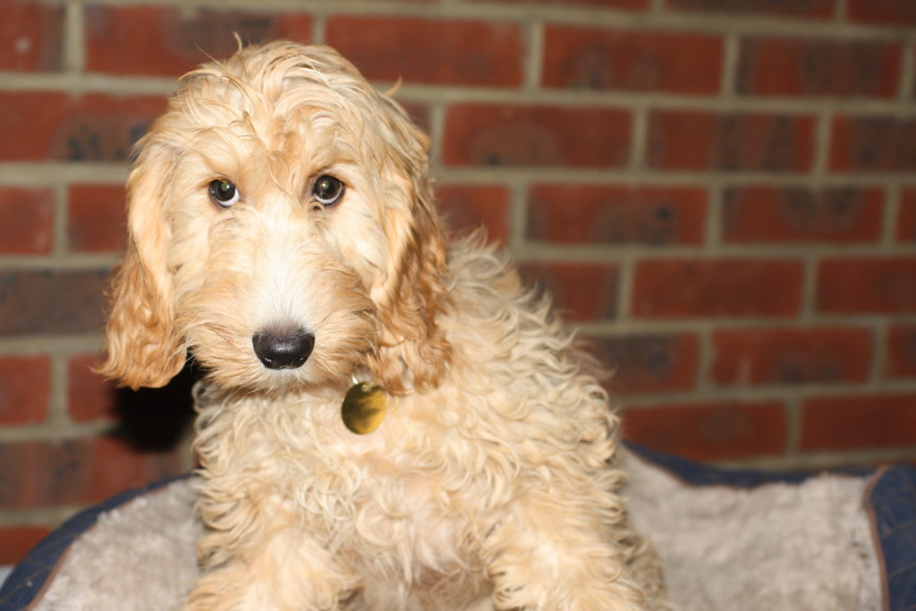 Wookie - 6 Month Old Male Cockapoo Available For Adoption-1290