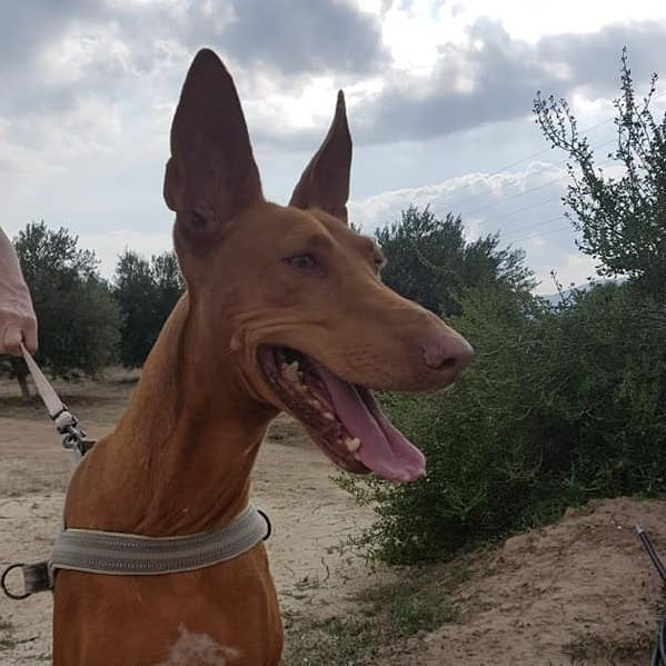 Anubis - 6-7 year old male Pharaoh Hound available for ...