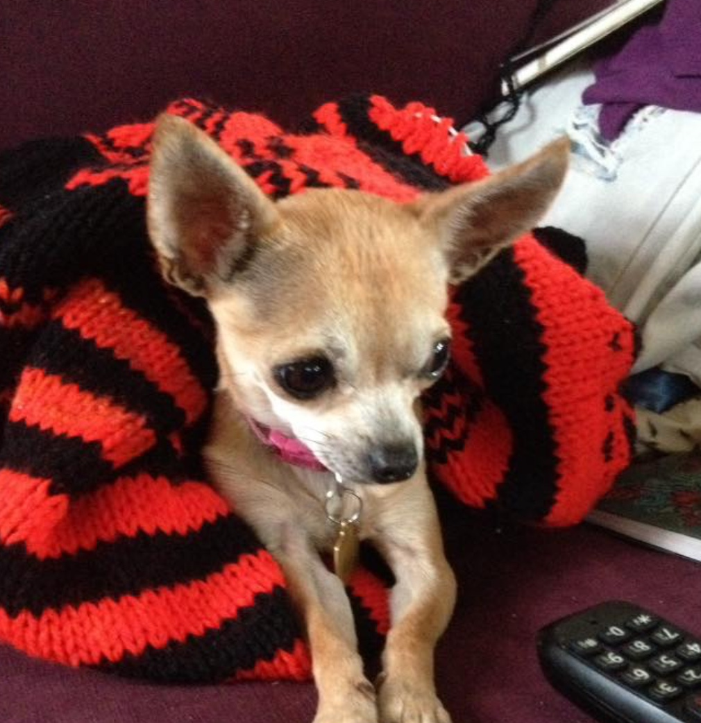 Dog Travel Crate >> Lily - 2 year old female Chihuahua available for adoption