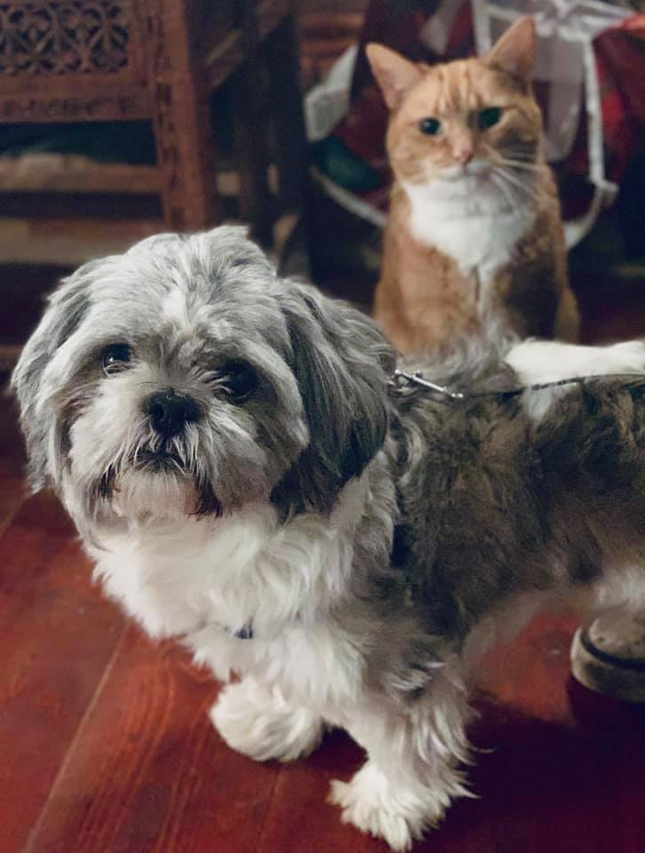 Blue 1 Year Old Male Shih Tzu Available For Adoption