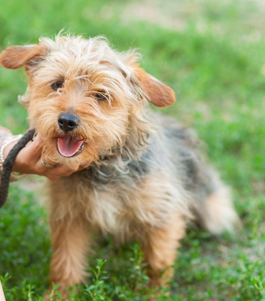 Boris - 1-2 year old male Yorkshire Terrier Cross ...