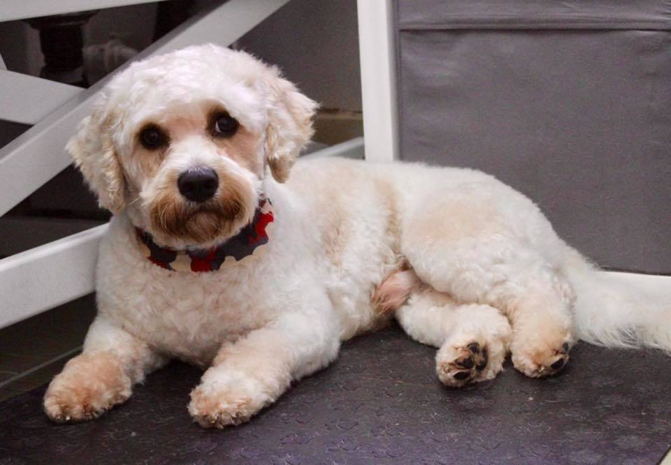 2 Year Old Male Cavalier King Charles