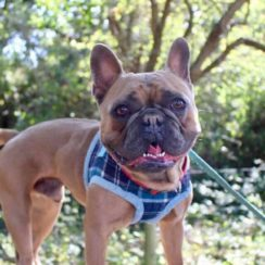 French Bulldog Dogs For Adoption And Rescue