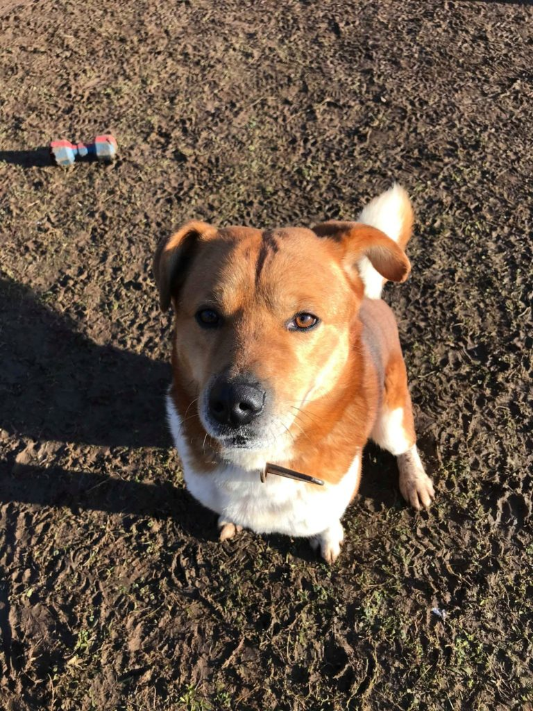 Haatchi - 3 year old male Shiba Inu cross Collie available ...