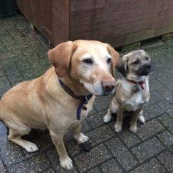 Labrador Retriever Dogs For Adoption And Rescue