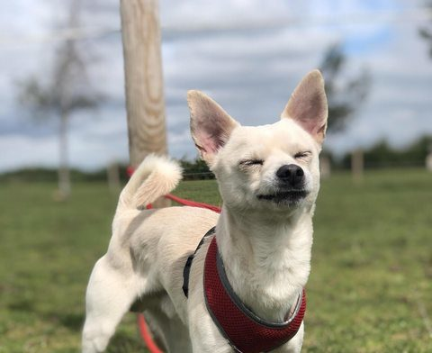 Max - 3 year old male Chihuahua cross Shiba Inu available ...
