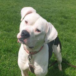 American Bulldog Dogs For Adoption