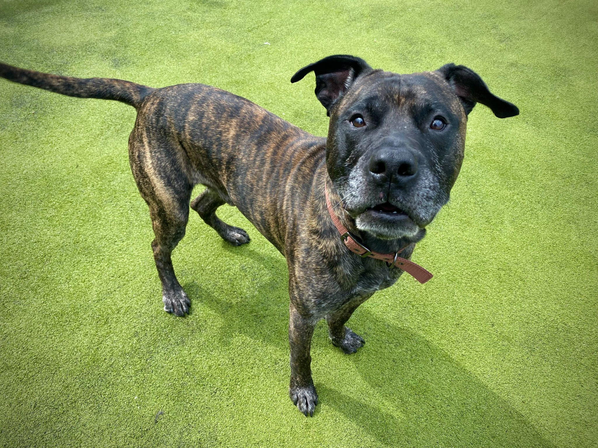 7 Beautiful Brindle Dogs Who Need A New Home