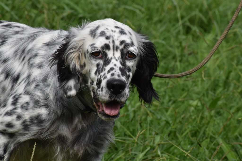 5 year old female English Setter available for adoption