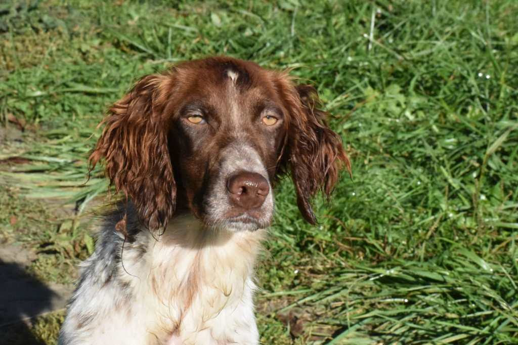 1 year old female English Setter available for adoption