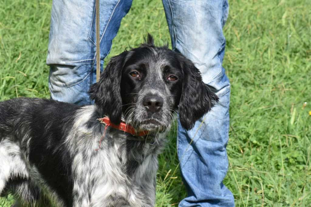 1 year old male English Setter available for adoption
